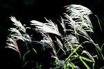 reed, riverside, autumn