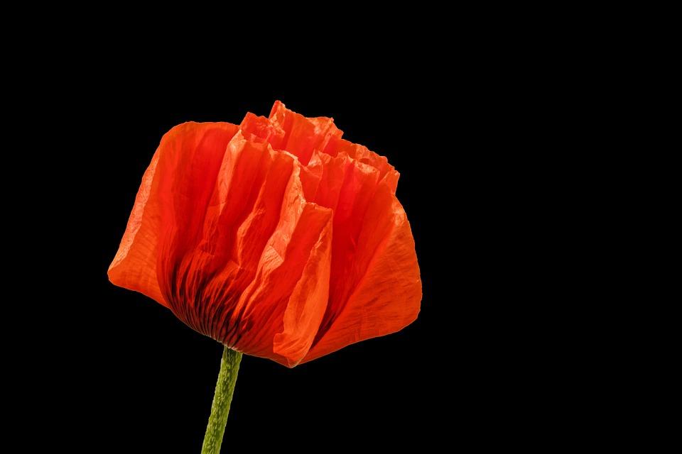 Papavero Fiore Rosso Sfondo Foto Gratis Su Pixabay