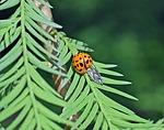 ladybug, insect