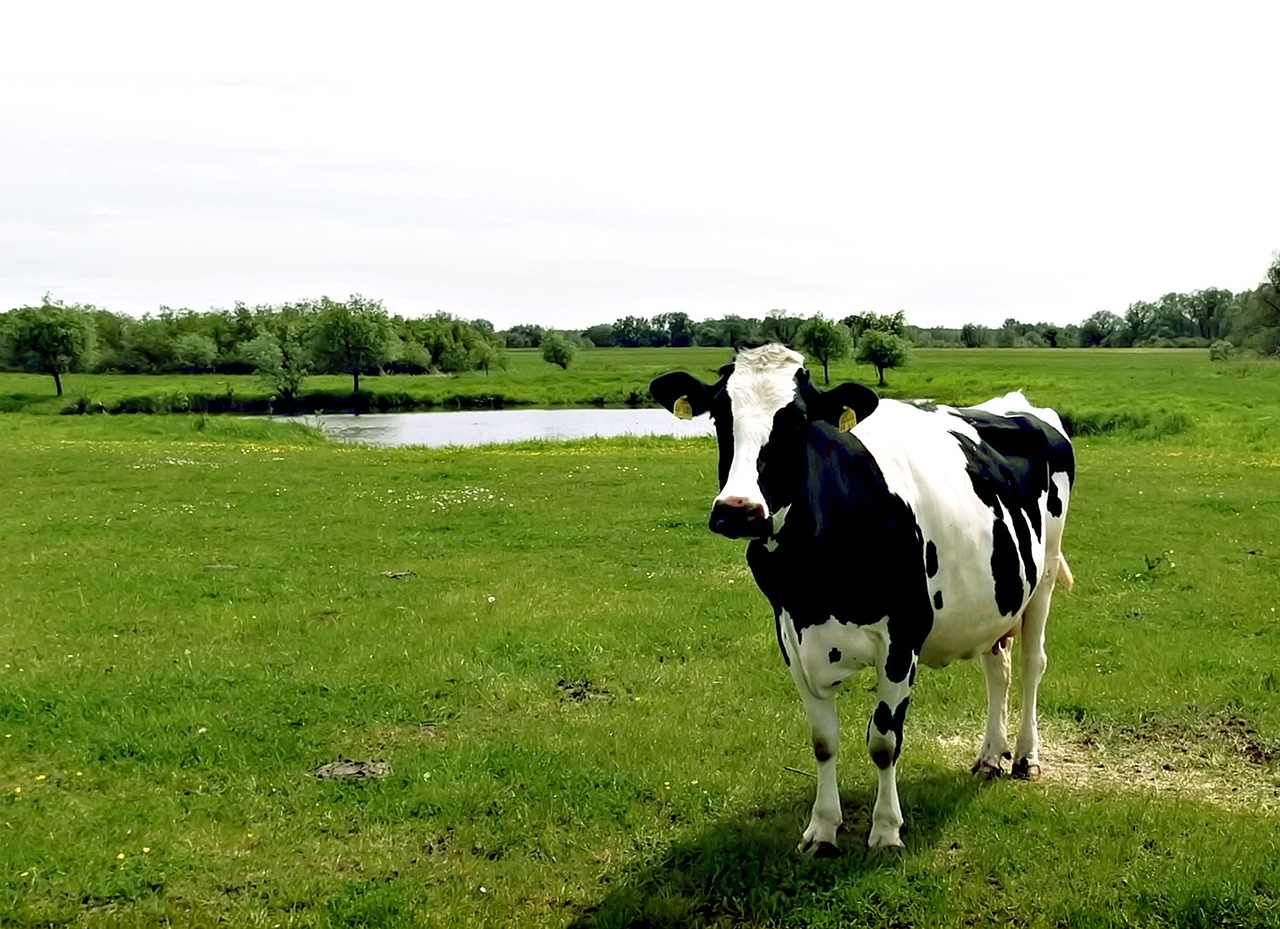 Krokotak COW IN BLACK AND WHITE Black and white cow pictures