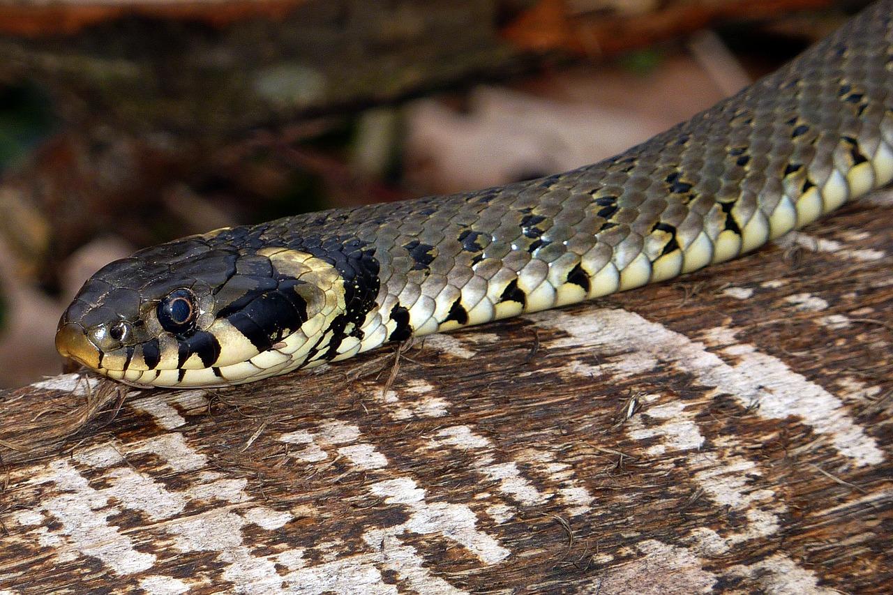 змеи пермского края фото с названиями исходные