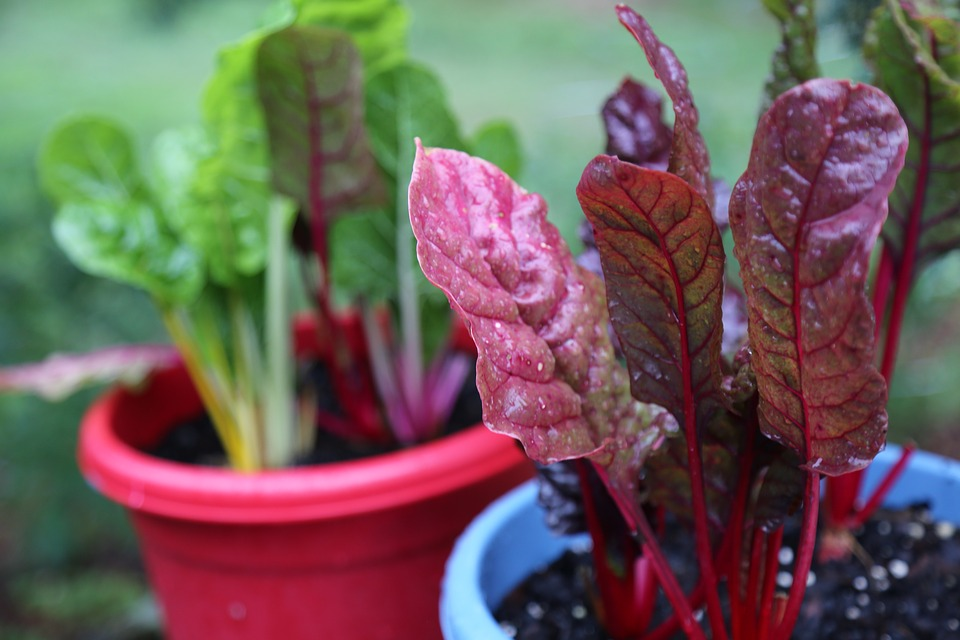 Chard, Green, Red, Lettuce