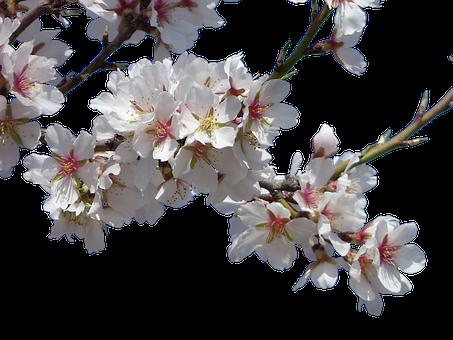 Blumen, Mandelbaum, Blüte