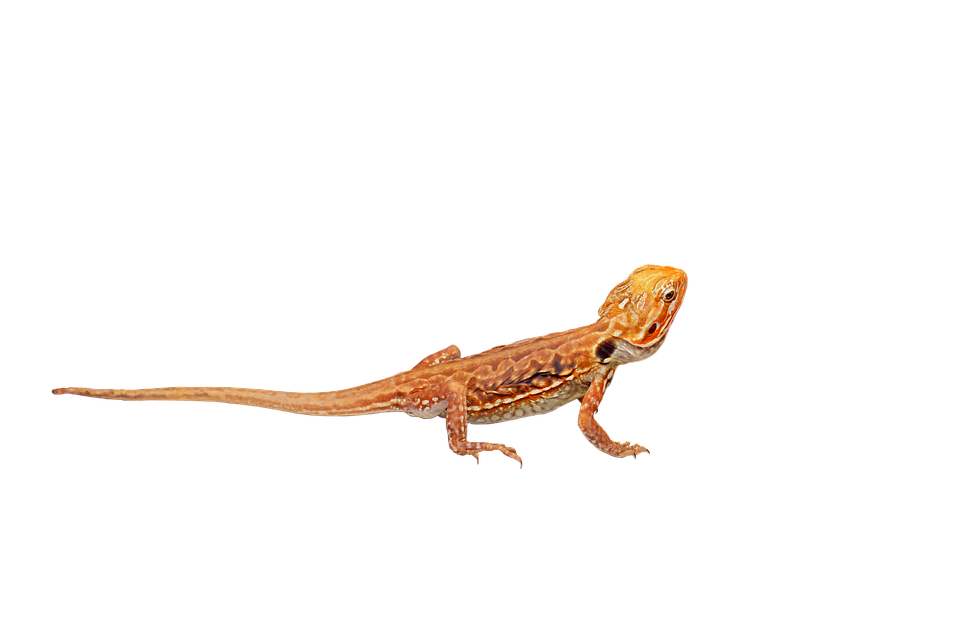 Bearded, Dragon, Silk