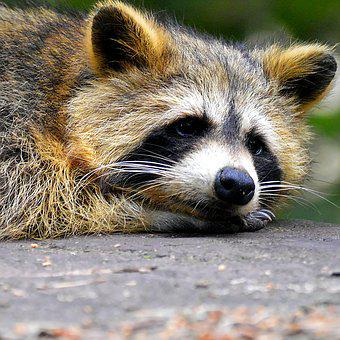 Raccoon, Face, Sweet, Animal World
