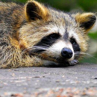 Raccoon, Face, Sweet, Animal World