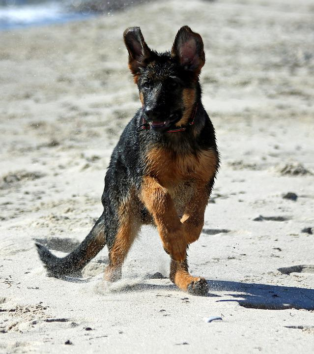 German Shepherd Dog Puppy Beach Free Photo On Pixabay