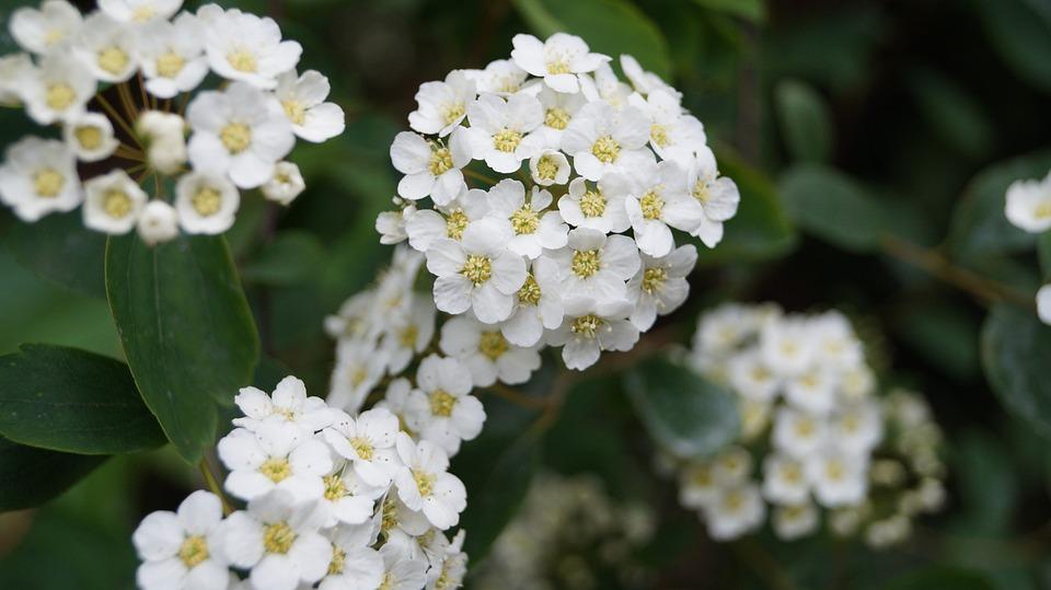Fiore, Biancospino, Bianco, Natura