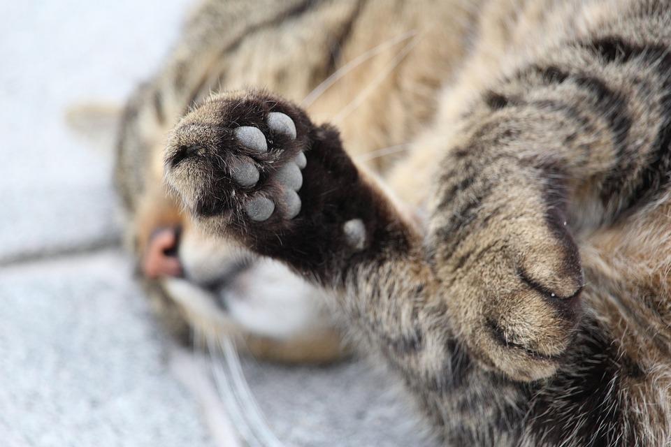 Pata, Gato Da Pata, Gato, Animal, Gato Doméstico