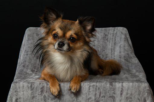 Chihuahua, Dog, Small, Pets, Cute, Hairy