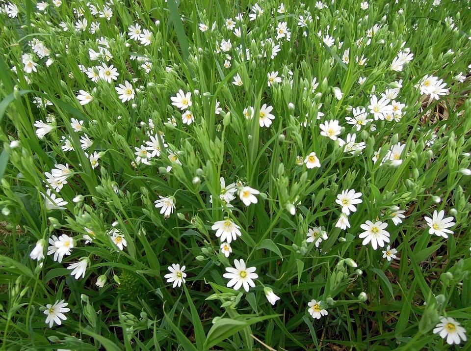 Stellaria white flowers free photo on pixabay stellaria white flowers bloom flowers of the field mightylinksfo