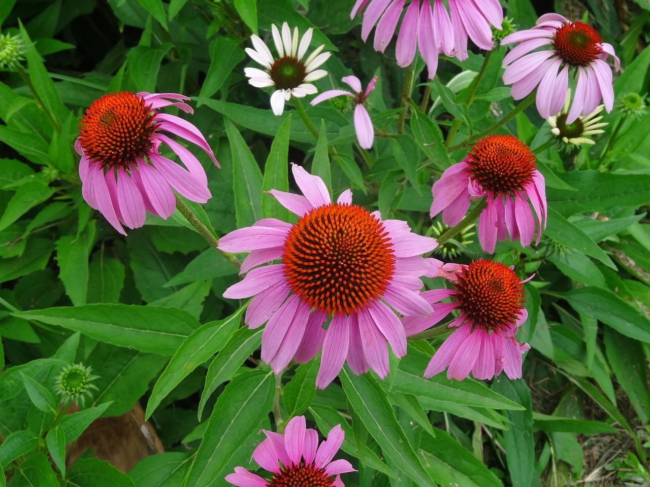цветы эхинацея посадка и уход фото барселоне отличные