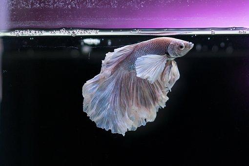 Gold Fish, Fish, Aquarium, Underwater