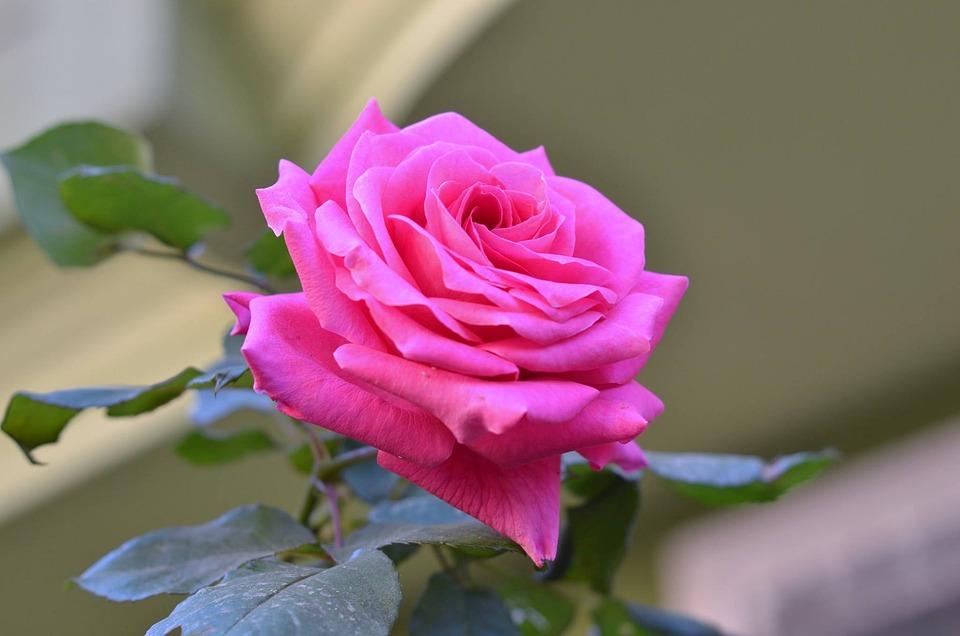 Desire Rose Pink Roses Free Photo On Pixabay