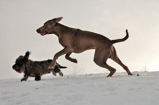 Weimaraner, Dachshund, Running Dogs