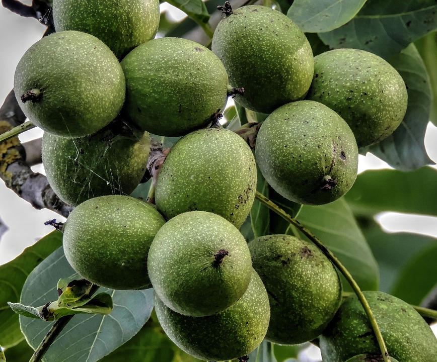 free photo walnut tree walnut walnuts free image on