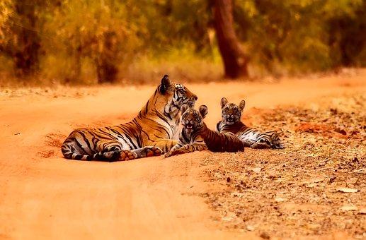 India, Tigres, La Vida Silvestre, Madre