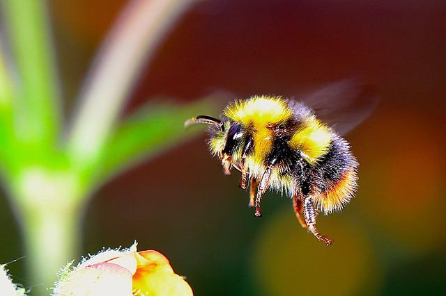 Bumble bee insect f free photo on pixabay - Bumble bee pictures a colori ...