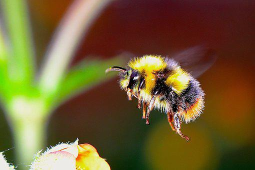 Bumble Bee, Insect, F, Bumble, Bee