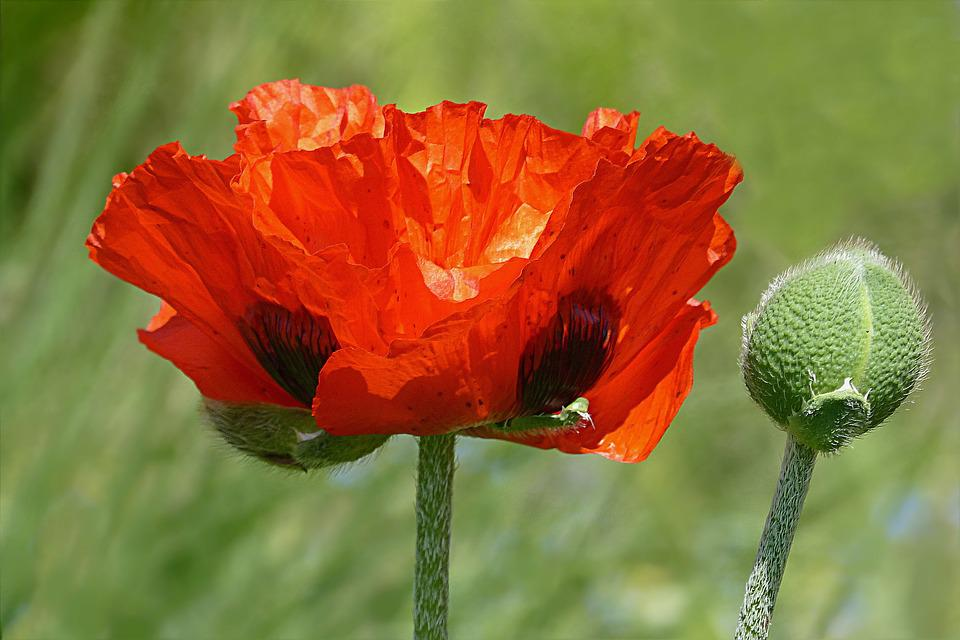 Papaver rhoeas images pixabay download free pictures flower poppy poppy flower mightylinksfo
