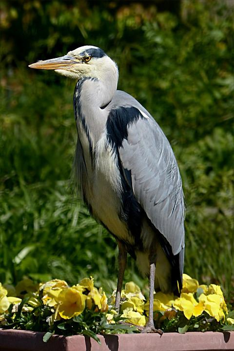 Free Photo Bird Eastern Heron Grey Heron Free Image On