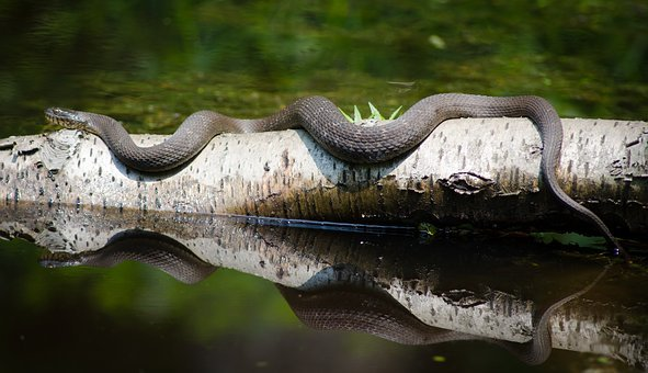 Snake, Nature, Reptile, Wild, Wildlife