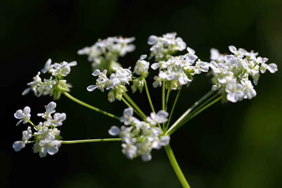 dild blomst
