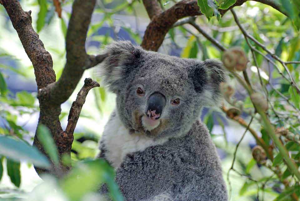 200+ Free Koala & Australia Images - Pixabay