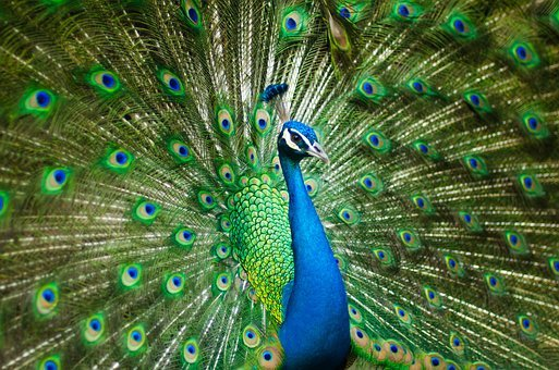 Beautiful Male Peacock, Colorful, Bird