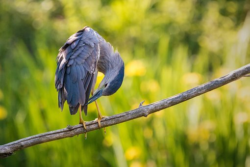 Night Heron, Dressing Up, Clean, Plumage