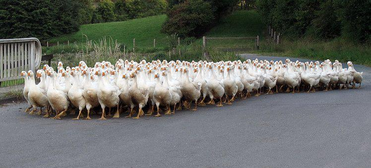 Animals, Geese, Single File, Poultry