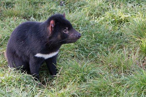 Tasmanian Devil, Tasmania, Marsupial