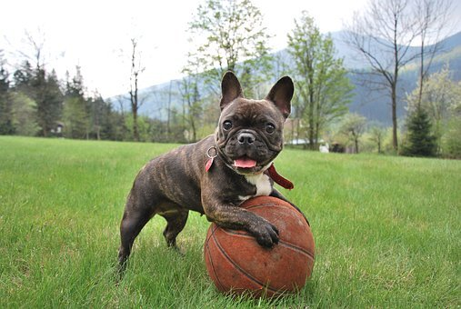French Bulldog Puppies For Sale in New Hampshire