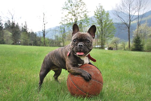 French Bulldog Puppies For Sale in Virginia