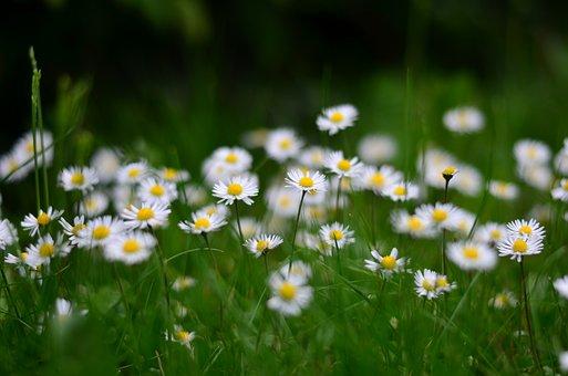 Flower, Nature, Daisy, Macro