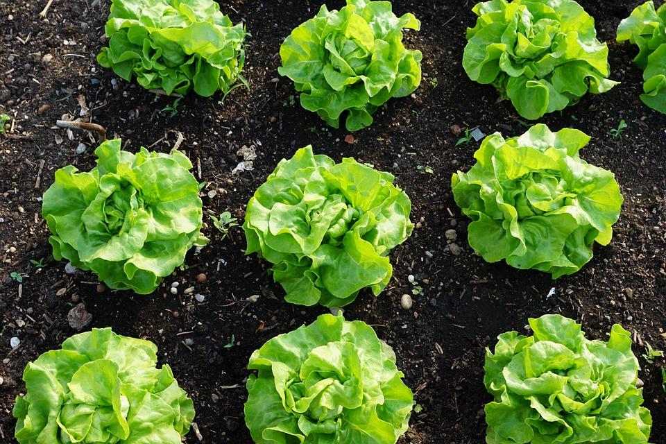 Salat Grün Gesund Kostenloses Foto Auf Pixabay