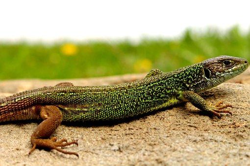 Lizard, Nature, Forest, Wood, Garden