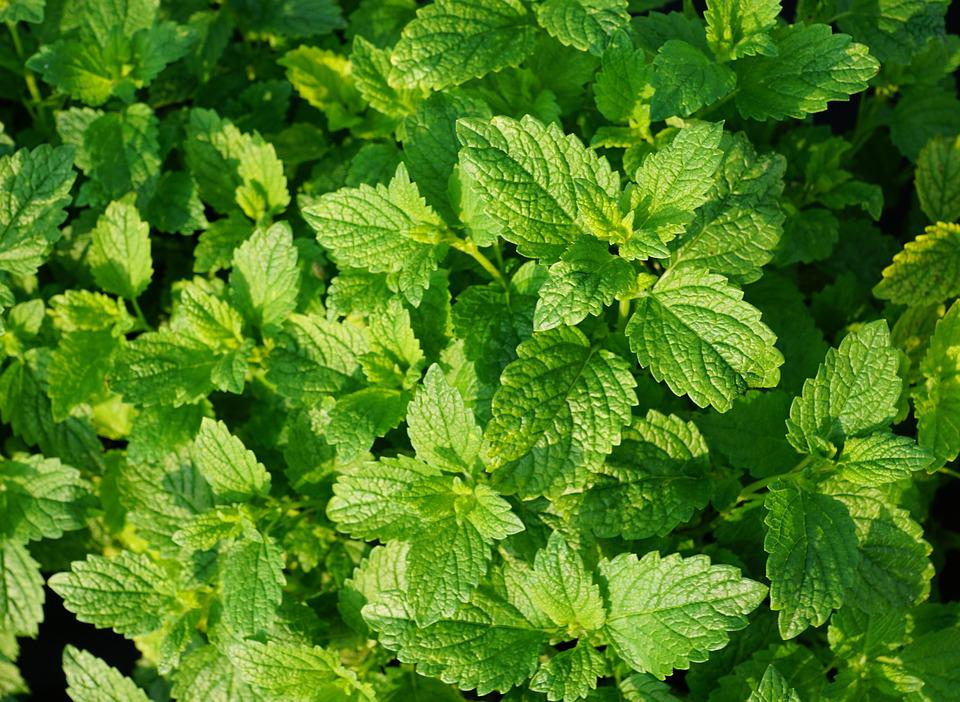 peppermint images pixabay download free pictures