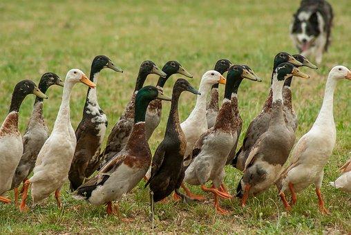 Ducks, Indian Runner, Border Collie