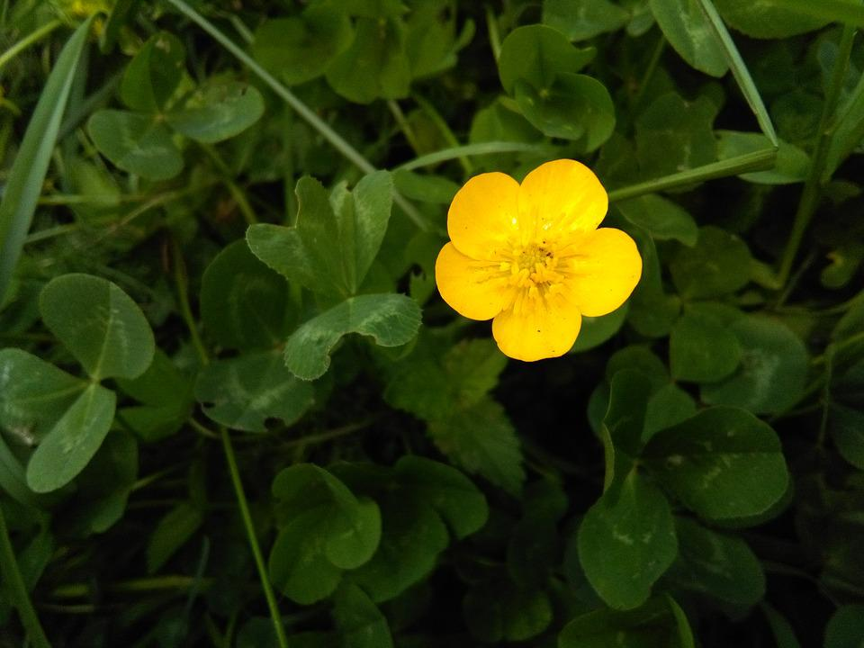 Cute little yellow free photo on pixabay cute little yellow flower nature clovers green mightylinksfo