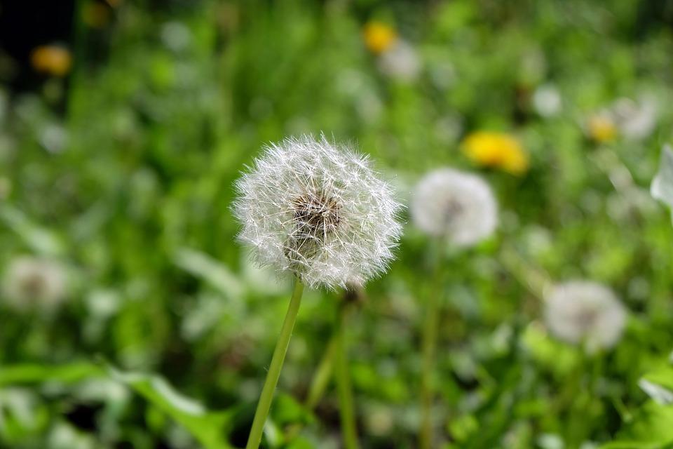 Dandelion flowers field free photo on pixabay dandelion flowers field white flowers of the field mightylinksfo