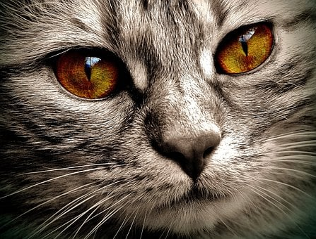Cat, Eyes, Bernstein, Domestic Cat