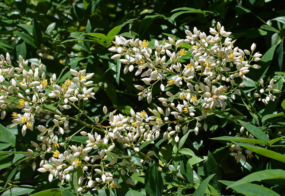 Nandina Fleurs D'Ouverture, Bambou Céleste, Arbuste