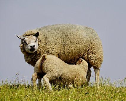 Moutons images gratuites sur pixabay 3 - Photos de moutons gratuites ...