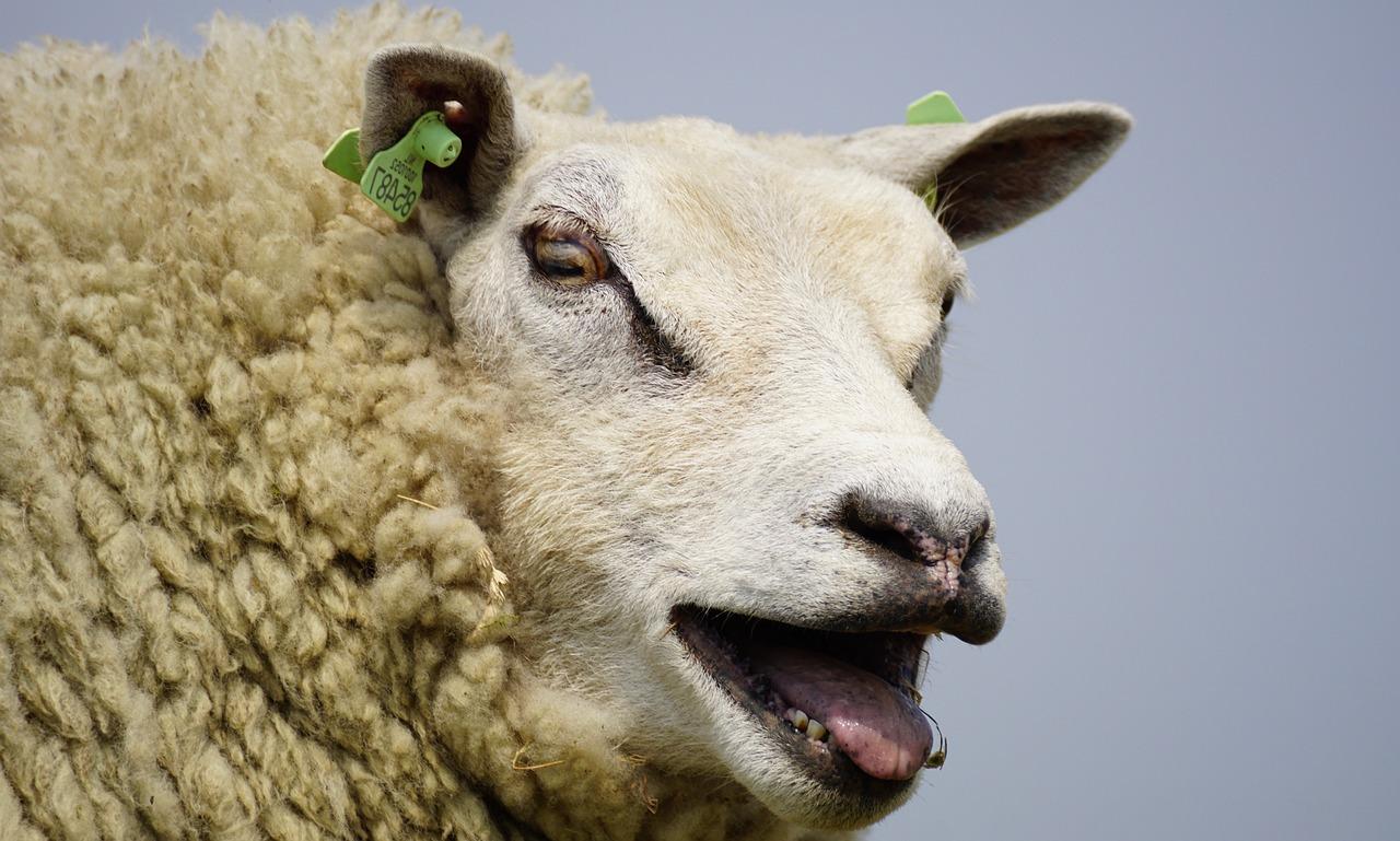 Фото овцы спрятались