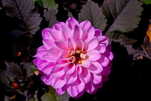 Fleur, Rose, Macro, Bloom, Printemps