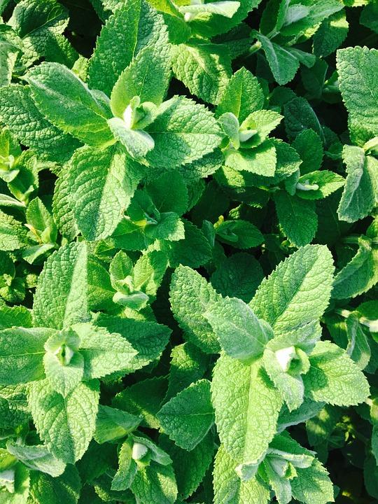pebermynte plante