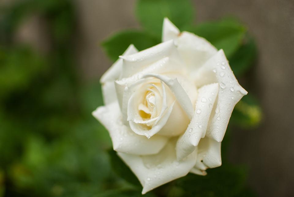 fleurs roses et blanches. Black Bedroom Furniture Sets. Home Design Ideas