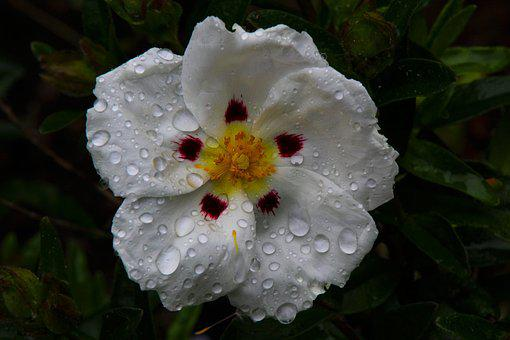 Blanc Cistus, Fleur, Ciste, Blanc