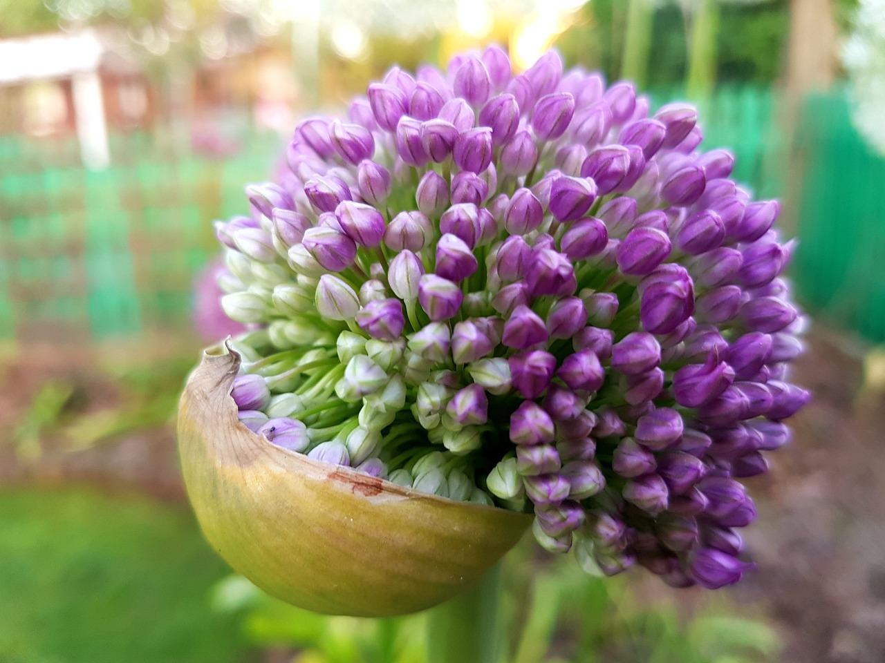Декоративный чеснок цветы